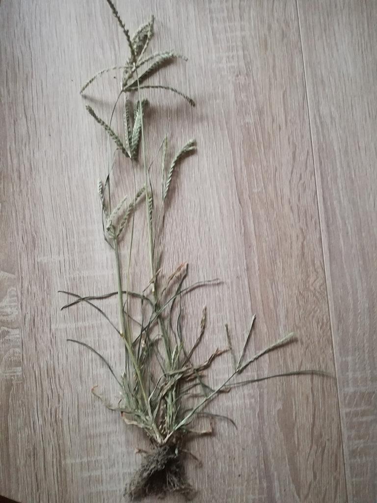 Aszályfű - herbáriumi példány